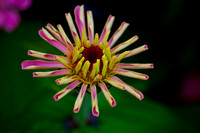 Blossoming Zinnia